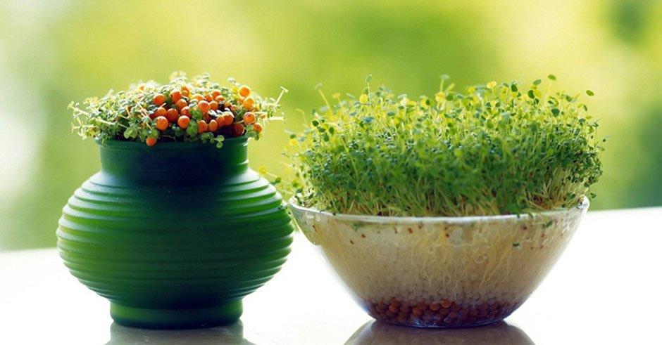 روشهای کاشت انواع سبزه عید